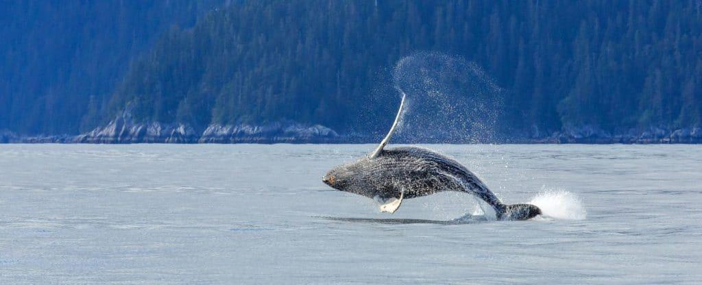 Hampback whale breaching jumping at Kenai fjord national park