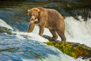 Bears and other Wildlife on Admiralty Island Near Juneau Alaska